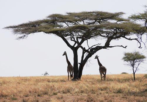 Big-tree-Tanzania83