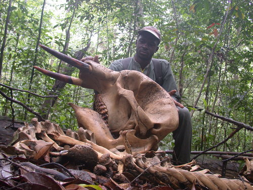 Gabon-elephant-carcass