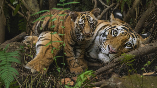 MM766 Tigers in Bandhavgarh Natl Park India